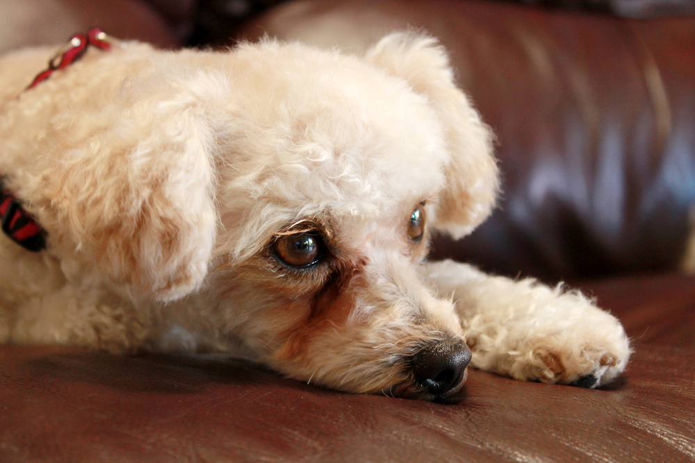 犬の涙焼け・目ヤニの原因~治し方と対策方法