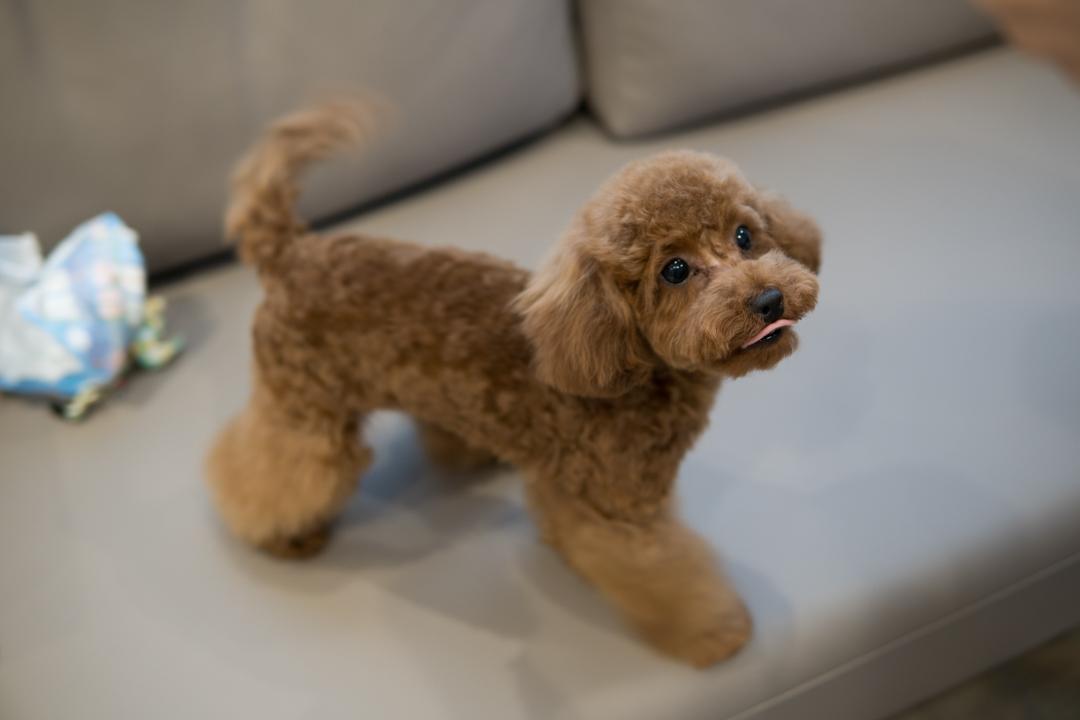 子犬のシャンプー&トリミング