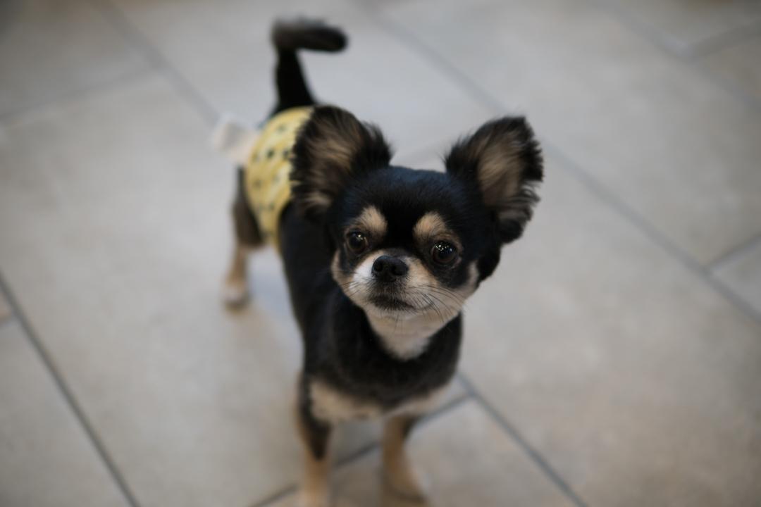 チワワの柴犬カットとサマーカットスタイル