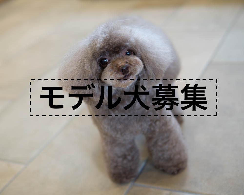 4月に新トリマー加入。カットモデル犬募集します!